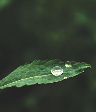 Water droplets balancing on green leaf | Meyer Clinic